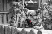 Cute village watchdog in black and white — Stock Photo