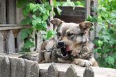 Cute village watchdog — Stock Photo