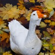 Goose - Stock Photo