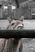 Przewalski's horse — Stockfoto