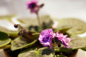 Blooming African violet — Stock Photo