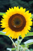The sunflower — Stock Photo