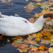Goose swimming in a pond — Stock Photo