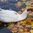 Goose swimming in a pond — Stock fotografie