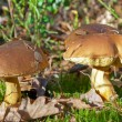 Mushrooms in the autumn forest — Stock Photo