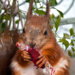 Red squirrel eating candy in a wrapper — Stock Photo