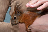 Red squirrel lying on hand — Stock Photo
