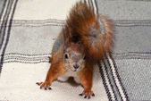 Red squirrel in the house — Stock Photo