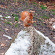 Red squirrel — Stock Photo #37841261