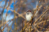 Sparrow sitting on a tree branch — Stock Photo