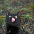 Stockfoto: Portrait of black cat