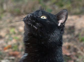 Portrait of a young black cat — Stok fotoğraf