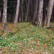Стоковое фото: Clearing in woods with snowdrops