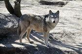 Joven lobo en el zoológico de kiev — Foto de Stock