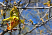 Chestnut bud in botanical garden — ストック写真