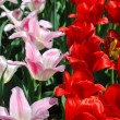 Two varieties of beautiful tulips — Stock Photo #45232757