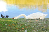 White swan lying on the bank of a pond — Stock Photo