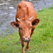 The young cow on a summer pasture near mountain river — Stock Photo #49537401
