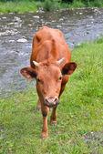 A vaca jovem no verão pasto perto de rio de montanha — Fotografia Stock