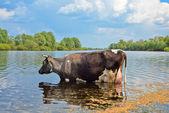 Koe op een gieter plaats — Stockfoto