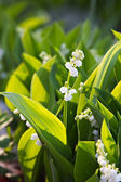 Lily-of-the-valley — Stock Photo