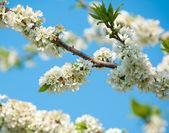 Plum blossoms — Stock Photo