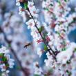 Cherry flowered — Stock Photo