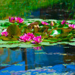 Stock Photo: Lotuses