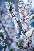 Cherry flowered — Stock Photo