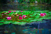 Lotuses — Stock Photo