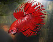 Aquarium fish Siamese Cockerel — Stock Photo