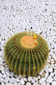 Big green blossoming cactus — Foto Stock
