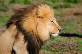 A Kalahari lion, Panthera leo, in the Addo Elephant National Par — Stock Photo