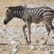 Stock Photo: Wet Zebrfoal, Etosha, Namibia