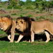 Two Kalahari lions, Panthera leo, in the Addo Elephant National — Stock Photo #22454289