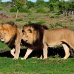 Two Kalahari lions, Panthera leo, in the Addo Elephant National — Stock Photo