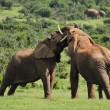 Two Elephants fighting, Addo Elephant National park, South Afric — Stock Photo #22454313