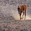 Wild horse of the Namib — 图库照片