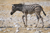 Wet Zebra foal, Etosha, Namibia — Stock Photo