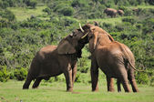 Two Elephants fighting, Addo Elephant National park, South Afric — Stock Photo