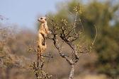 Meerkat on guard — Stock Photo