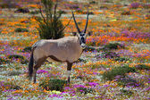 Oryx in flowers — Stock Photo