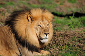 A male Kalahari lion, Panthera leo, in the Addo Elephant Nationa — Stock Photo