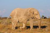 White Elephant, Etosha National Park, Namibia — Stock Photo
