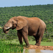 Elephant drinking water at Harpoor Dam, Addo National PARK, Sout — Stock Photo