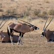 Stock Photo: Oryx (Gemsbok)