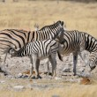 A Zebra foal suckling — Stock Photo