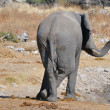 Elephant, EtoshNational park, Namibia — Stock Photo #22468793