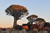 восход солнца в колчан дерево лес, намибия — Стоковое фото