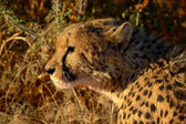 A Cheetah in the sunset — Stock Photo
